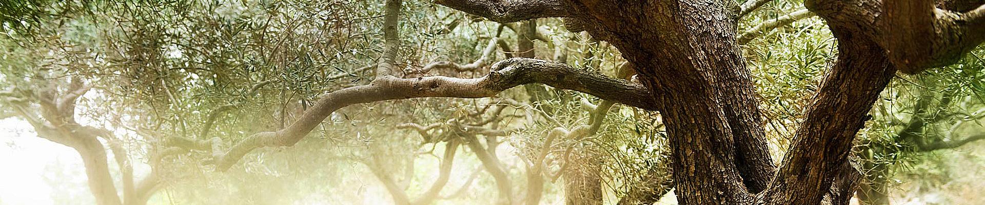 almasol-olivenöl-slider-6