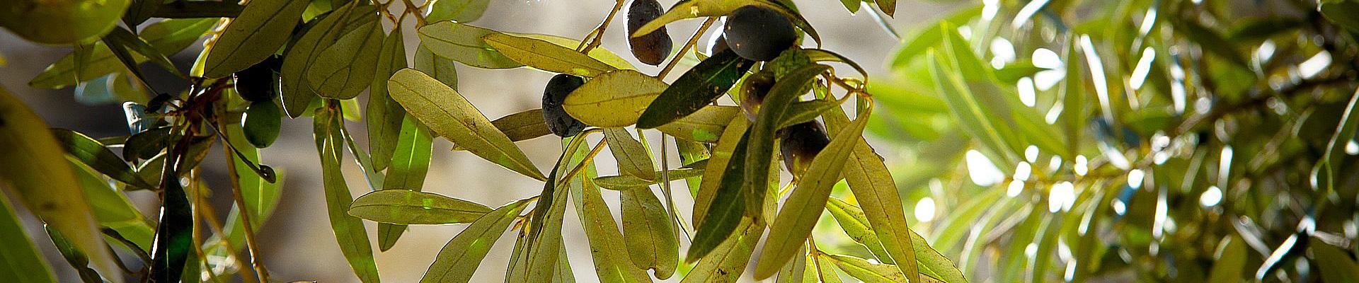 almasol-olivenöl-slider-4